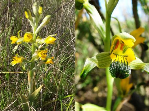 Conservación y restauración de orquídea chilena recibe fondo VRID Multidisciplinario